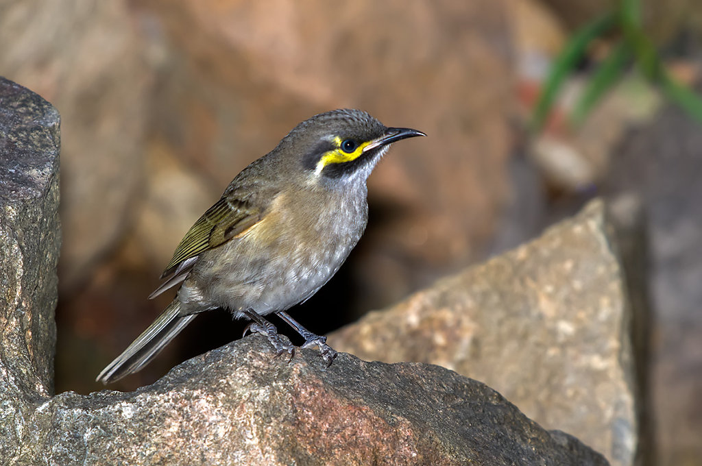 AM34991cr1200-Yellow-faced-Honeyeater-Edit.jpg