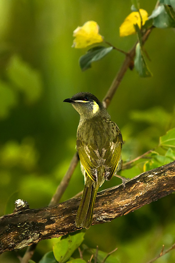 AM35103cr1080-Lewins-Honeyeater.jpg