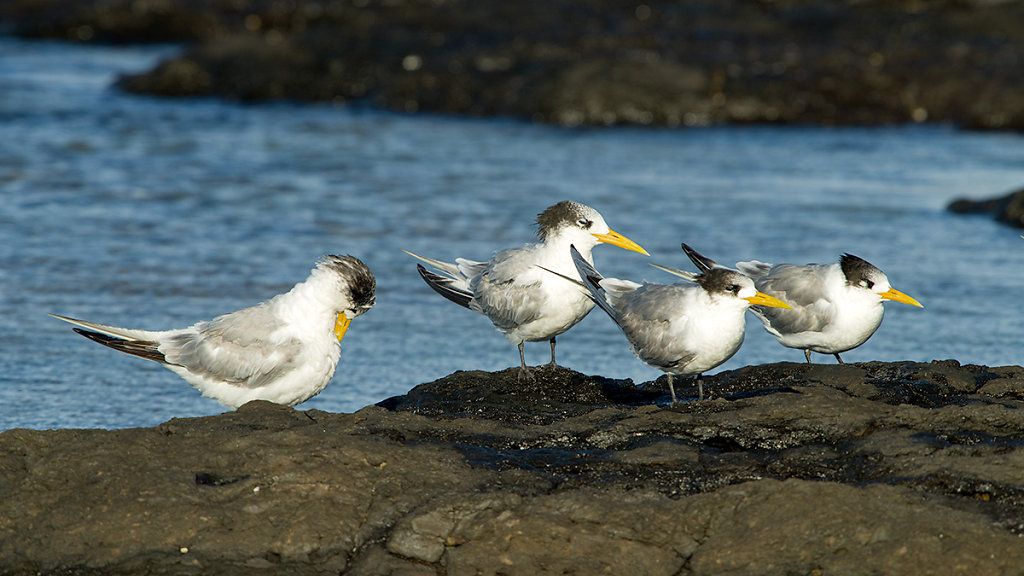 AM10395-Edit-cr1200-Crested-Terns.jpg