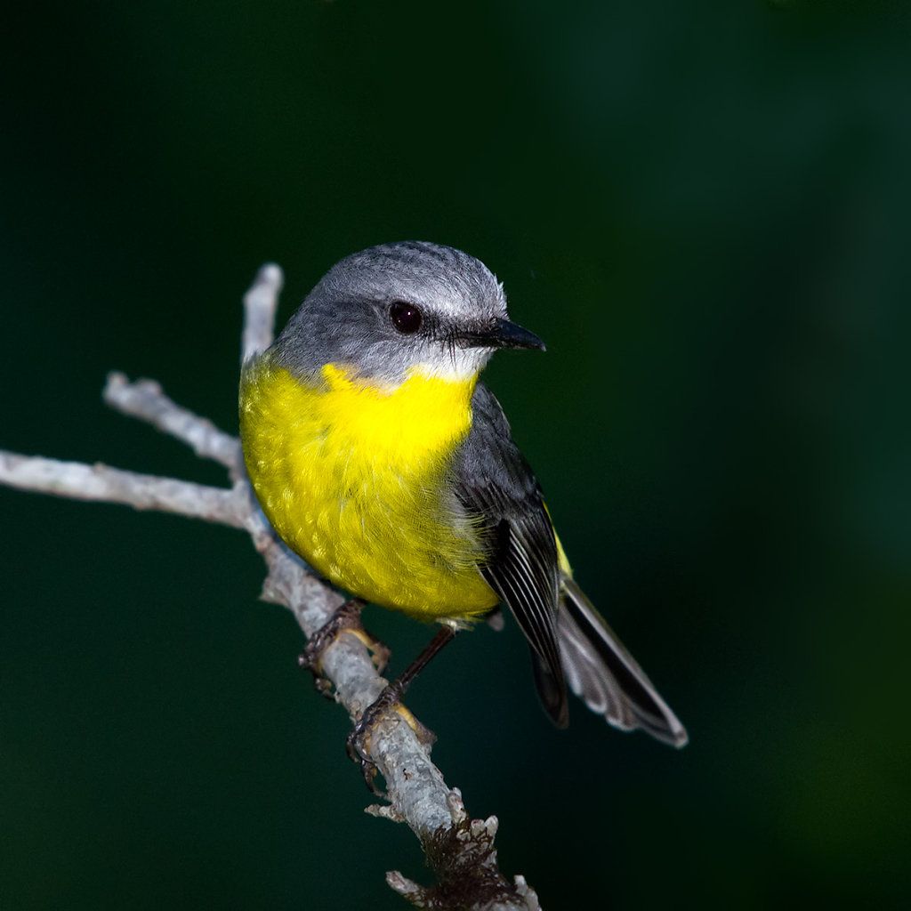AM10756-Editcr1200-Eastern-Yellow-Robin.jpg