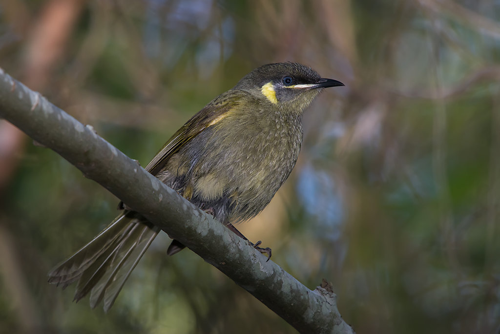AM10786-Editcr1200-Lewins-Honeyeater.jpg