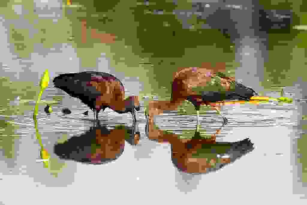 AM10220-Editcr1200-Glossy-Ibis.jpg