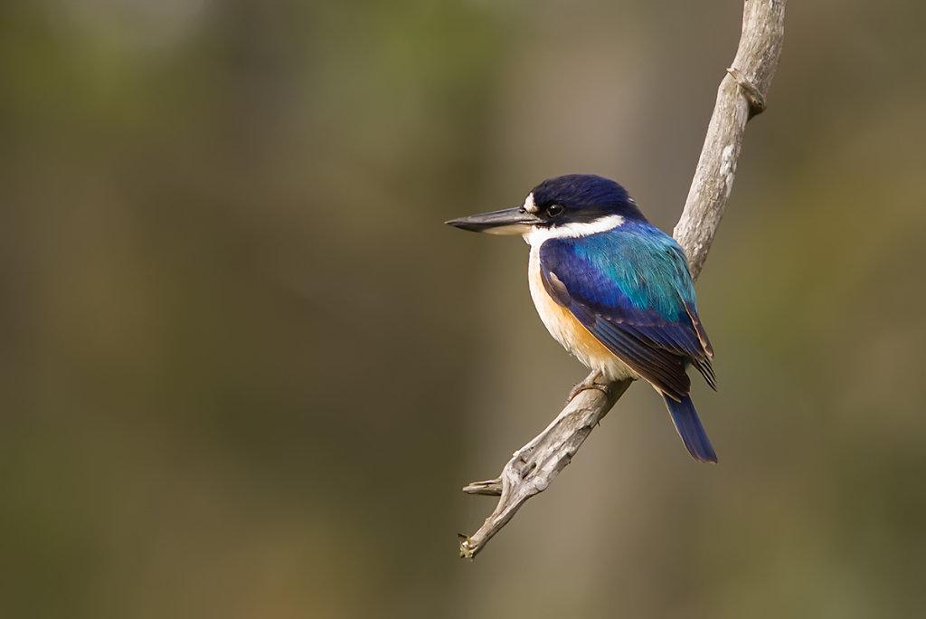 AM11047-Editcr1200-Forest-Kingfisher.jpg