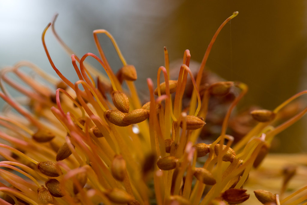 AM11359-Edit-cr1200-Banksia-Giant-Candles.jpg