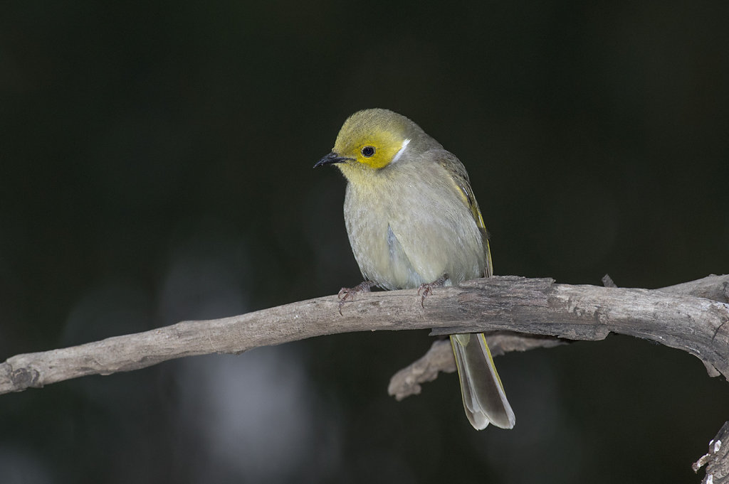 AM35261-Editcr1080-White-plumed-Honeyeater.jpg