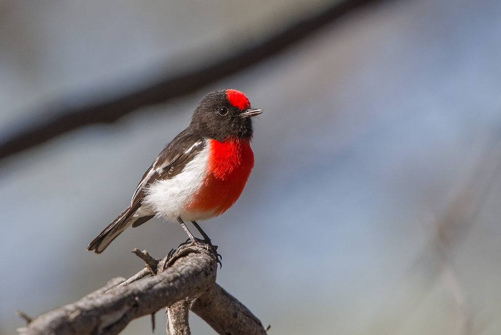 AM11918-Editcr1080-Red-capped-Robin.jpg