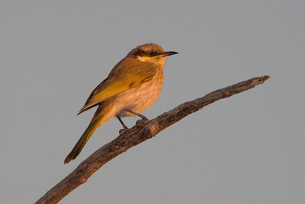 AM11811-Editcr1080-Singing-Honeyeater.jpg