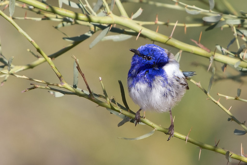 AM11958-Editcr1080-White-winged-Fairy-wren.jpg