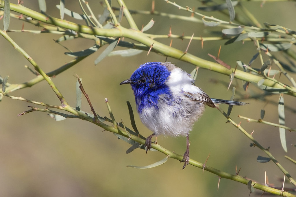 AM11963-Editcr1080-White-winged-Fairy-wren.jpg