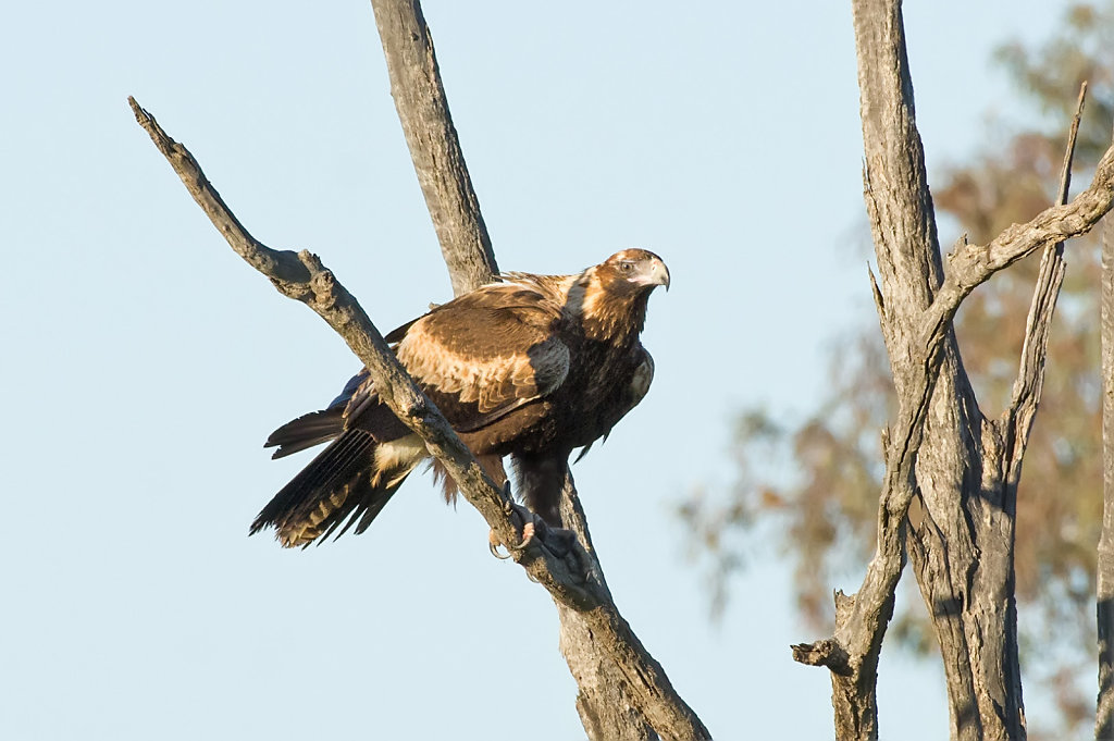AM35434-Editcr1080-Wedge-tailed-Eagle.jpg