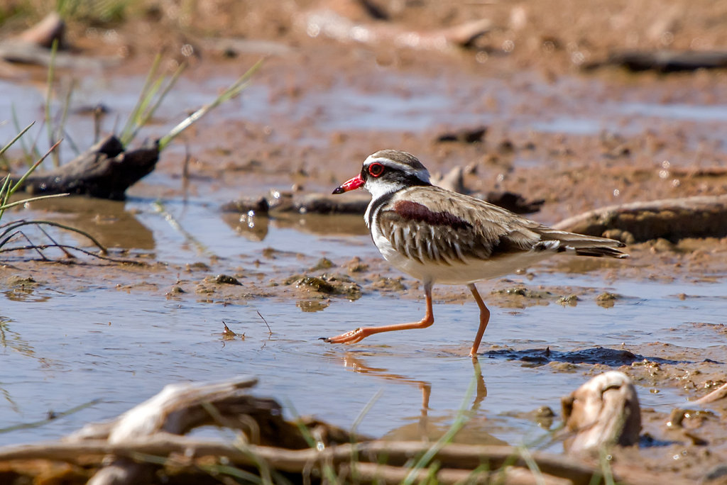 AM12238-Editcr1080-Black-fronted-Dotterel.jpg
