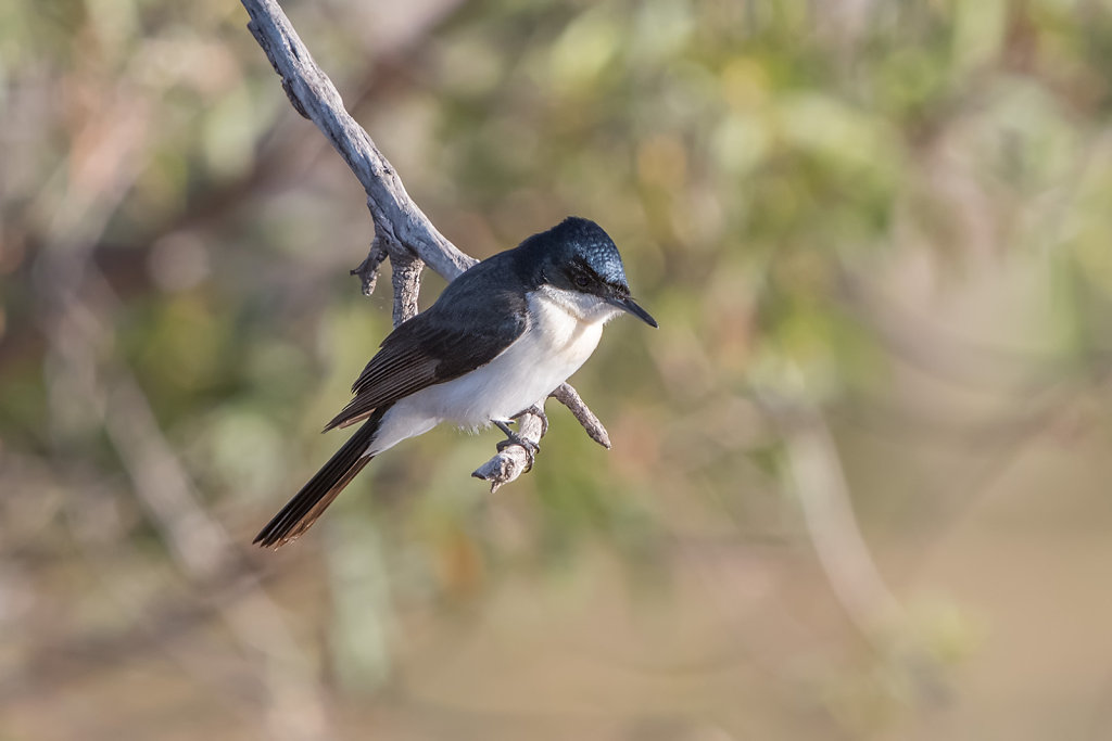 AM12157-Edit-2cr1080-Restless-Flycatcher.jpg