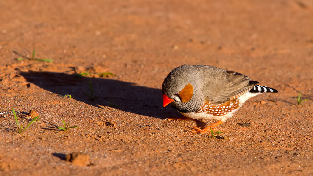 AM11590-Editcr1080-Zebra-Finch.jpg