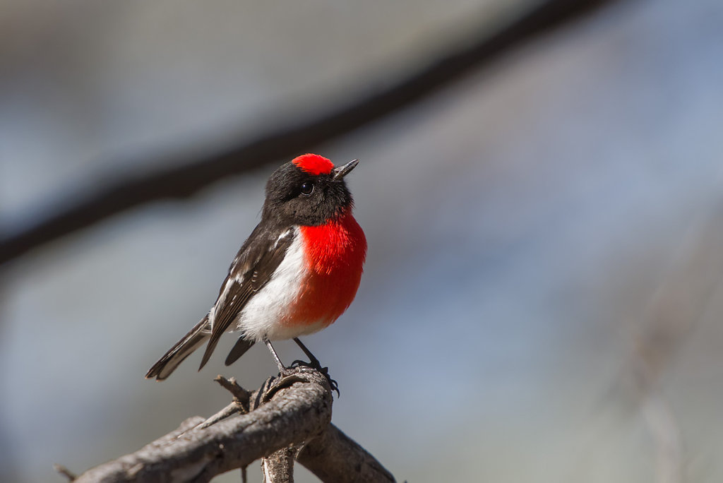 AM11916-Editcr1080-Red-capped-Robin.jpg