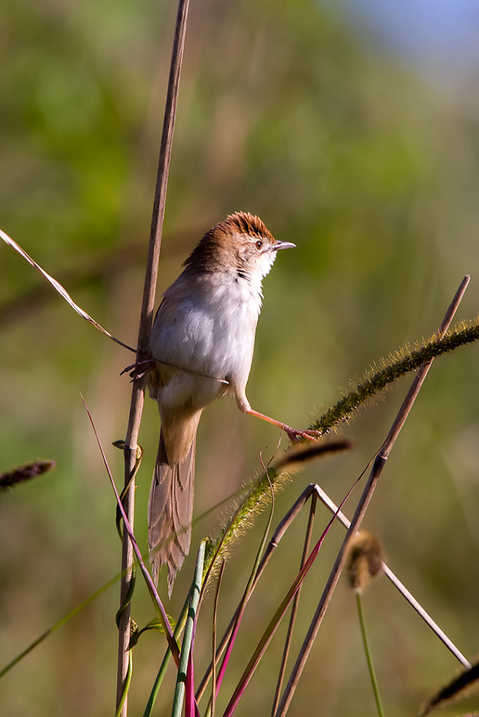 AM13099-Editcr1080-Tawny-Grassbird.jpg