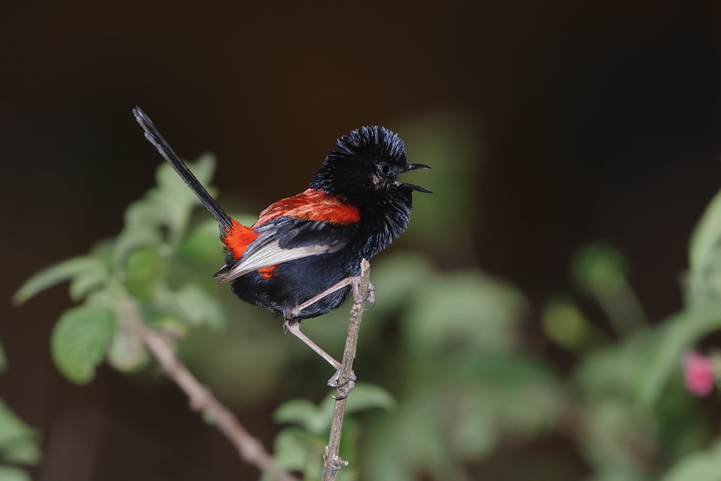 AM13212-Editcr1080-Red-backed-Fairy-wren.jpg