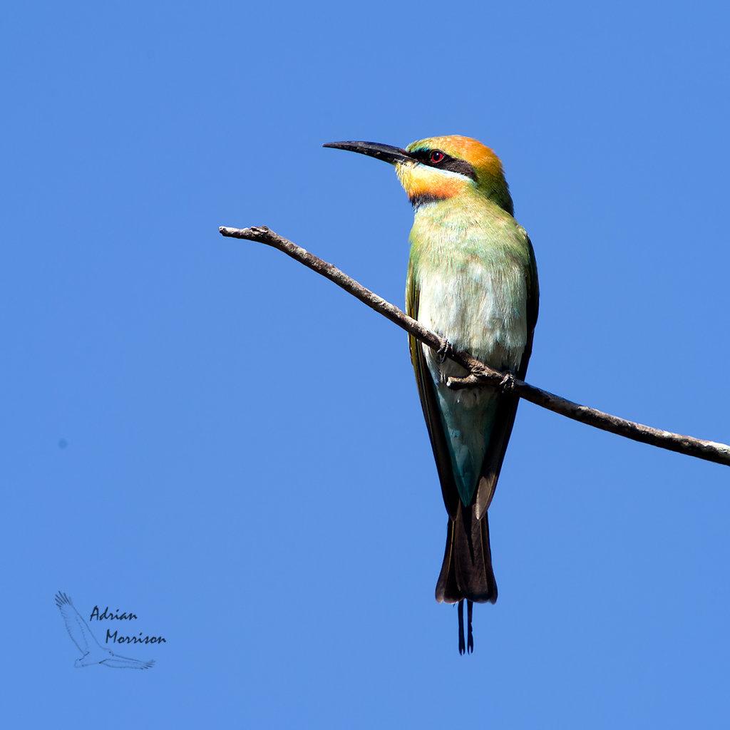 AM13560-Editcr1200-Rainbow-Bee-eater.jpg