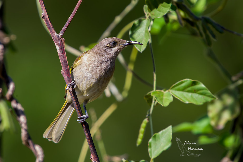 AM13585-Editcr1080-Brown-Honeyeater.jpg