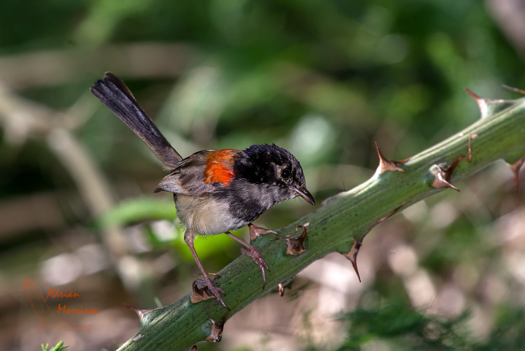 AM16551-Editcr1080-Red-backed-Fairy-wren-eclipse.jpg