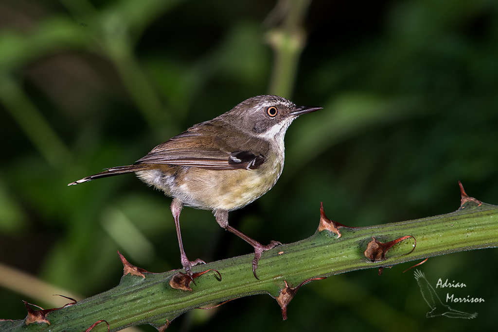AM16542-Editcr1200-White-browed-Scrubwren.jpg