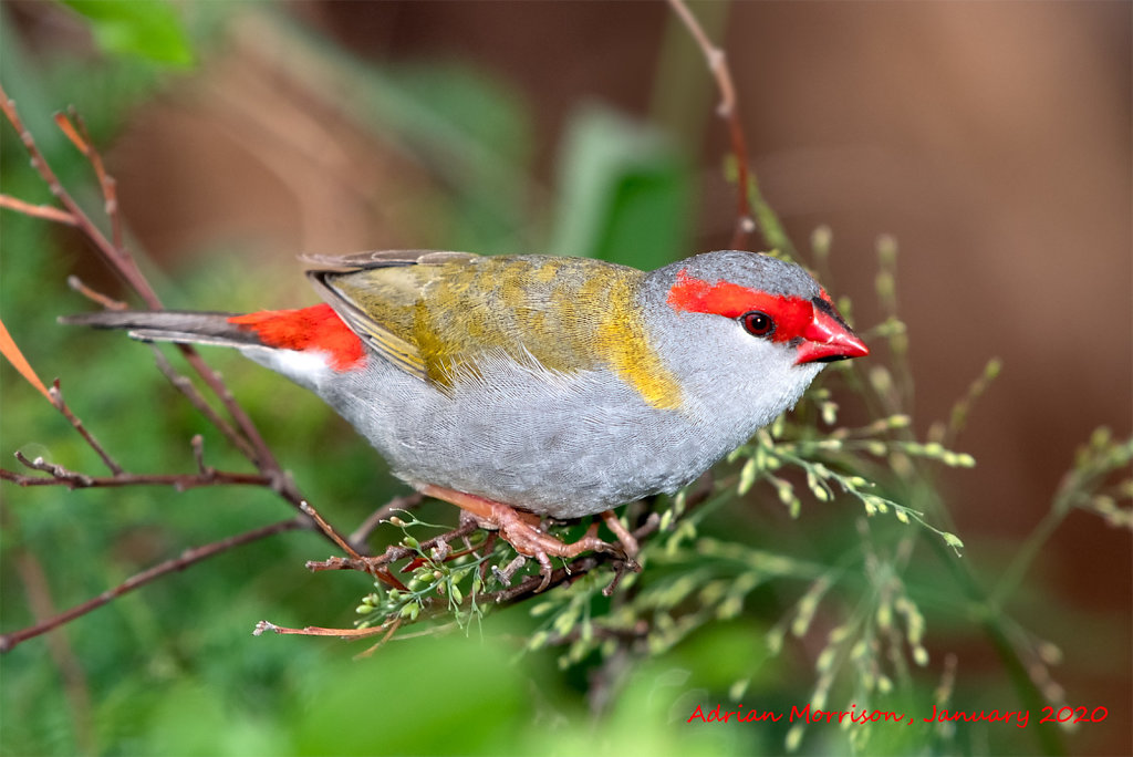 AM13024cr1080-Red-browed-Finch.jpg