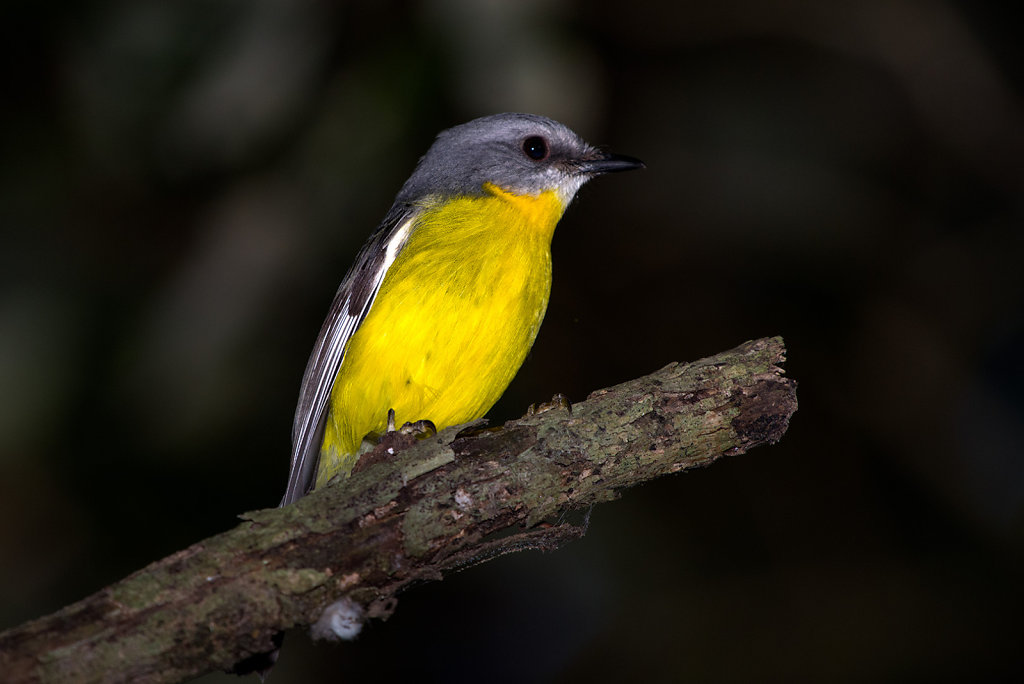 IMG0097-Editcr1080-Eastern-Yellow-Robin.jpg