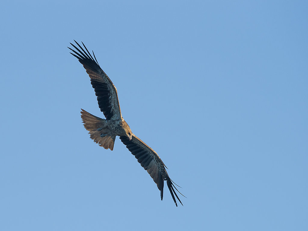 AM10679-Edit-cr1200-Whistling-Kite.jpg