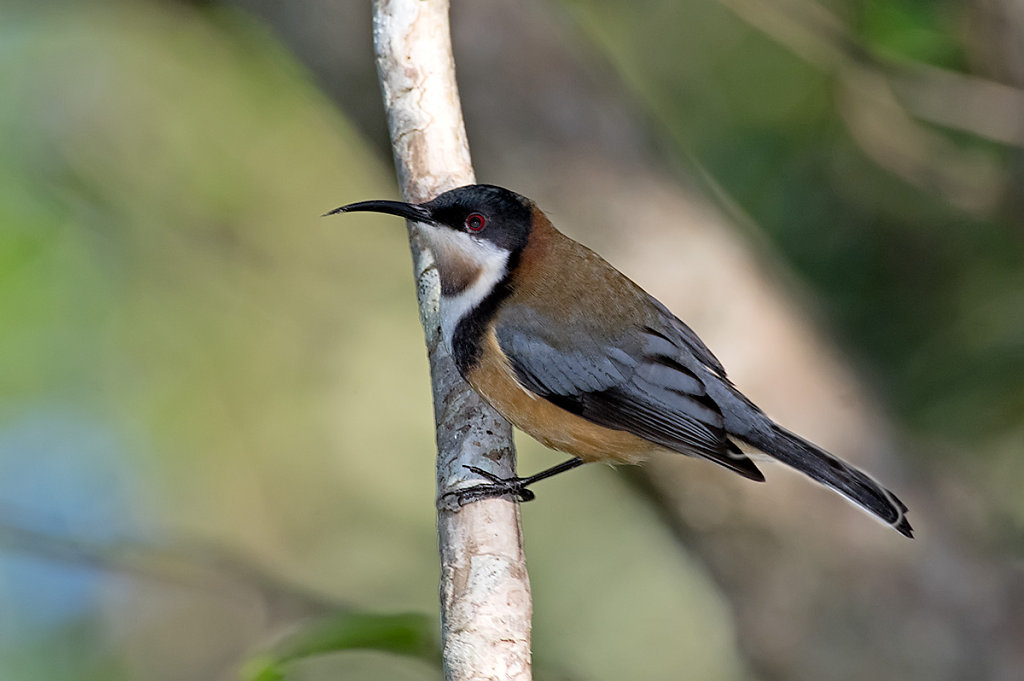 AM35211-Editcr1200-Eastern-Spinebill.jpg