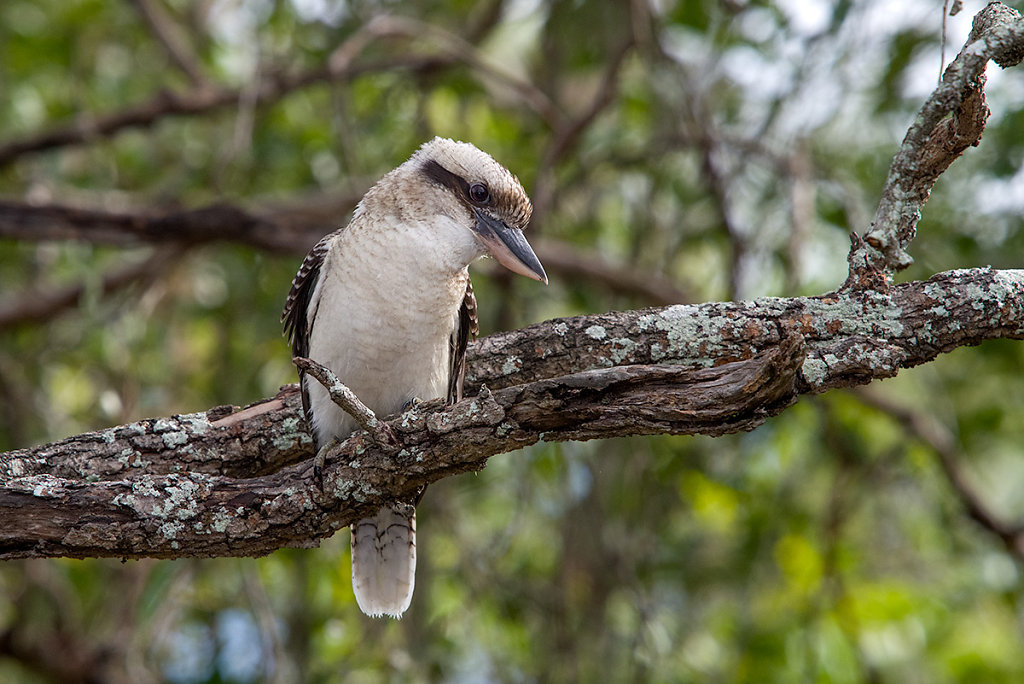 AM10782-Editcr1200-Laughing-Kookaburra.jpg