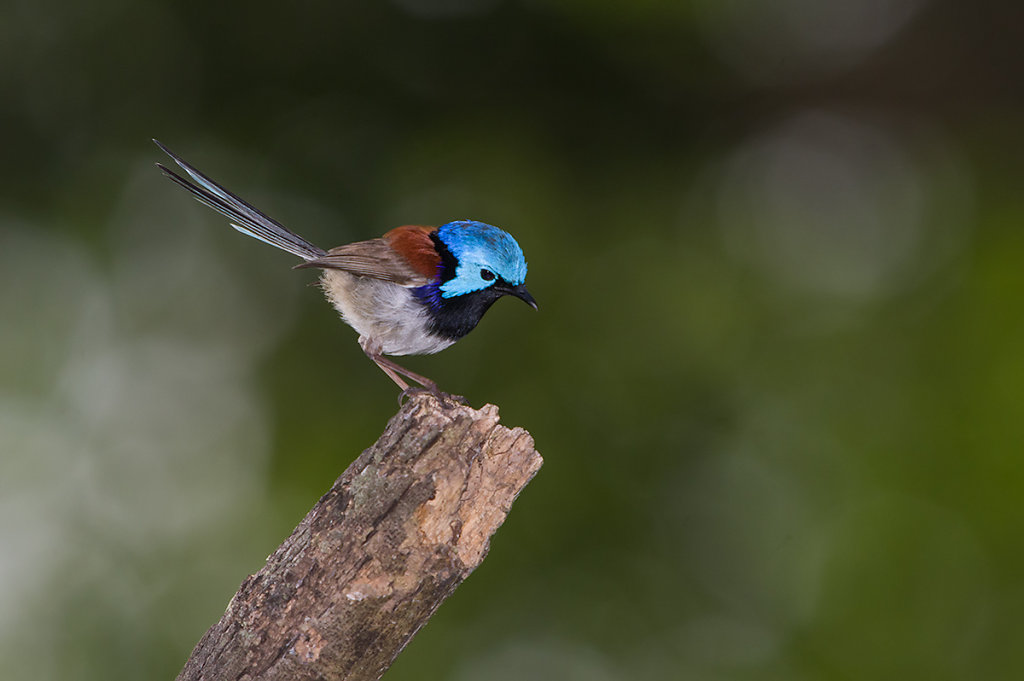 AM34454cr1200-Variegated-Fairy-wren.jpg
