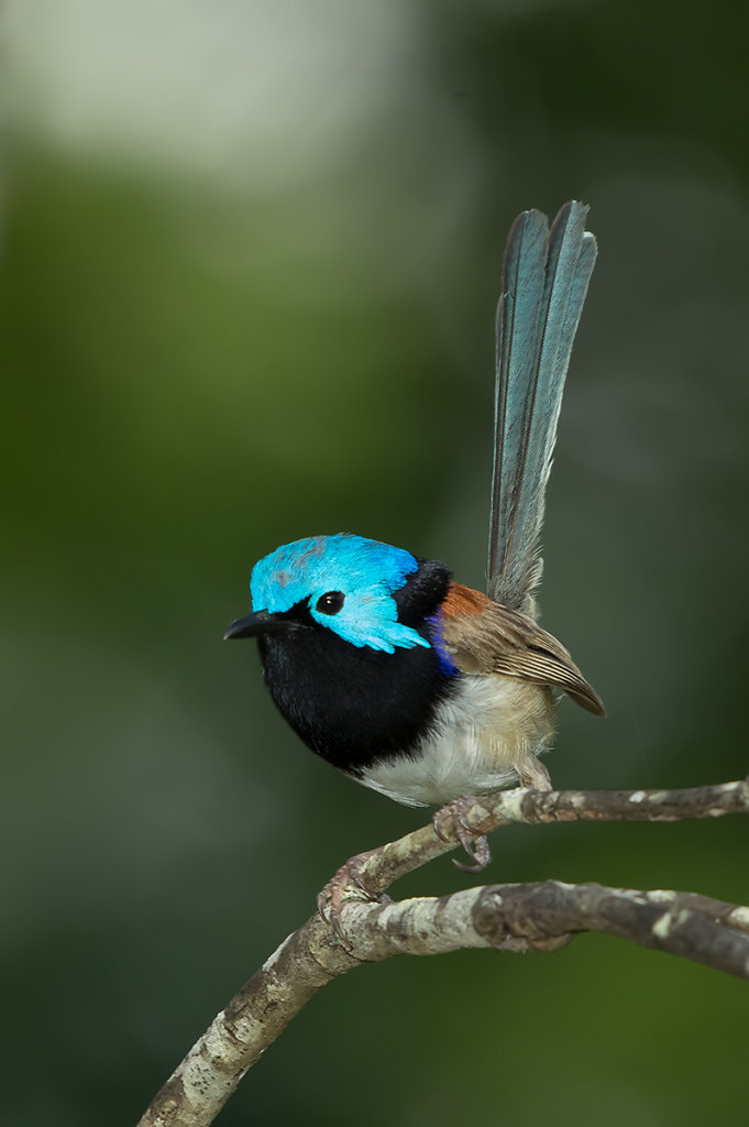 AM34637editcr1200-Variegated-Fairy-wren.jpg