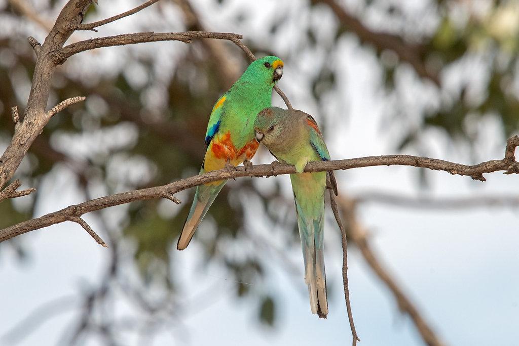 AM11758-Editcr1080-Mulga-Parrots.jpg