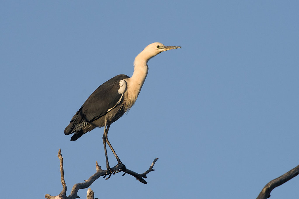 AM12011-Editcr1080-White-necked-Heron.jpg