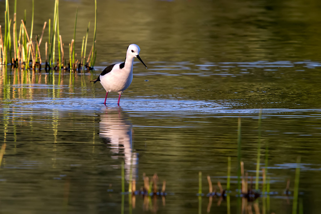 AM11644-Editcr1080-Black-winged-Stilt.jpg