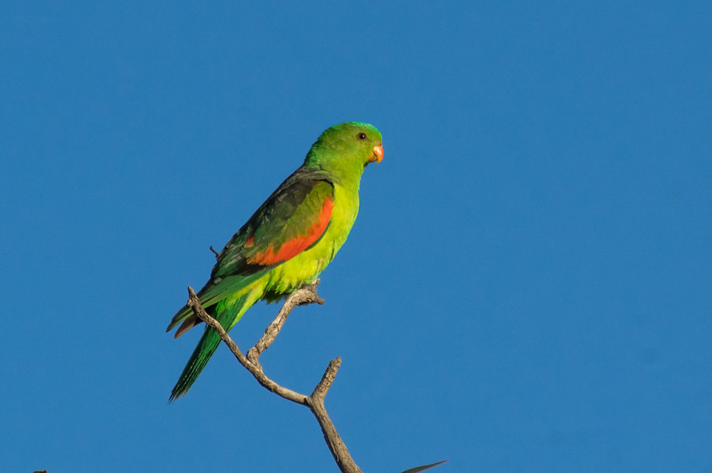 AM35327-Editcr10809-Red-winged-Parrot.jpg