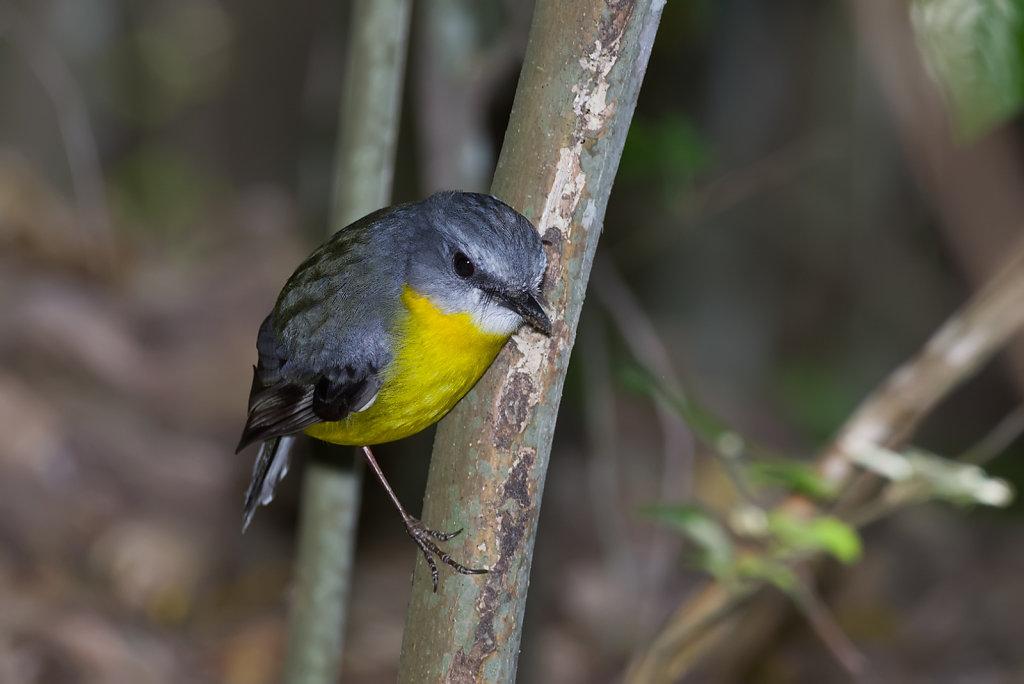 Australian Birds - Karalee, Ipswich, Queensland