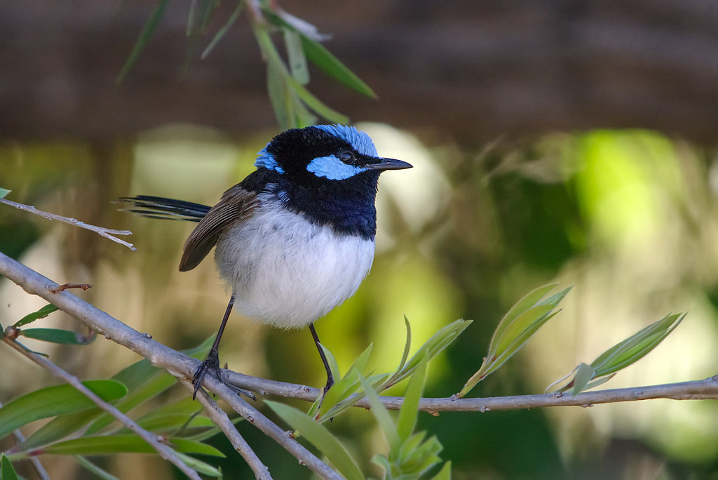 AM13110-Editcr1080-Superb-Fairy-wren.jpg
