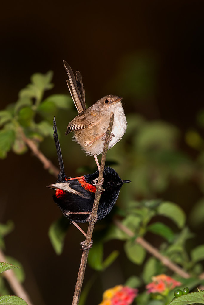 AM13206-Editcr1200-Red-backed-Fairy-wrens.jpg