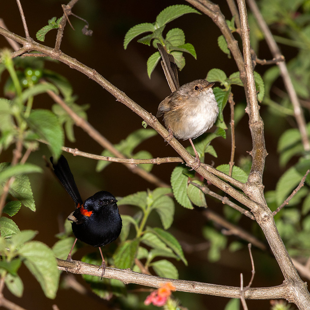 AM13198-Editcr1200-Red-backed-Fairy-wrens.jpg