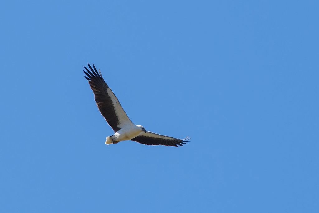 AM12536-Editcr1080-Sea-Eagle.jpg