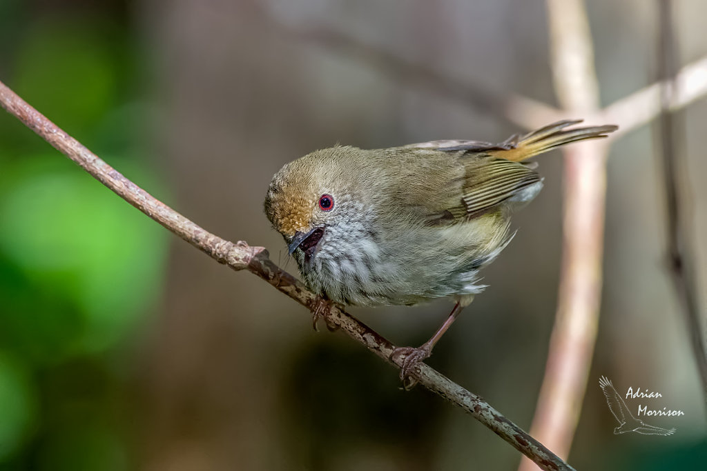 AM13344-Editcr1080-Brown-Thornbill.jpg