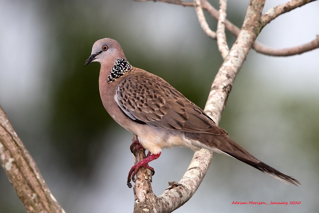 AM12974cr1080-Spotted-Dove.jpg